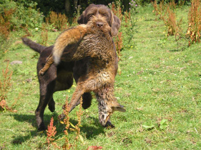 IS A GWP FOR YOU? - German Wirehaired Pointer kennel uk